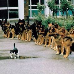 Well trained German shepards