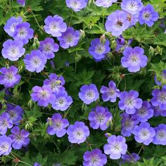 Hardy Geranium 'Rozanne' - Single Flowering Hardy Geraniums - The Vernon Geranium Nursery Cranesbill Geranium, Garden Flower Beds, Easy To Grow Flowers, Geraniums, Geraniums Garden, Perennial Geranium, Easiest Flowers To Grow, Geranium Rozanne, Hardy Geranium