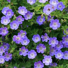 Le géranium Rozanne est l'un des geraniums les plus florifère. L'entretien, de la plantation à la floraison est facile et l'effet décoratif du printemps à l'hiver. Son port est cependant avachi (de mm pour Johnson Blue)