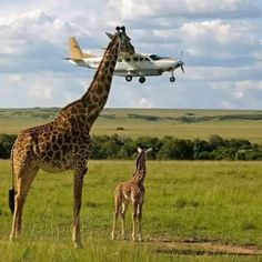 "Top photos from the 2017 Comedy Wildlife Photography Awards: A giraffe checks plane safety in Graeme Guy's ""Outsourcing Seatbelt Checks"" in Masai Mara, Kenya. Photo by Graeme Guy. Comedy Wildlife Photography, Photography Awards, Animal Photography, Photography Photos, Photo Animaliere, Time Photo, Shot Photo, Photo Tips, Funny Animals"