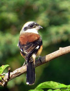 Bay-backed Shrike (Lanius vittatus) is a member of the bird family Laniidae, the shrikes, resident in South Asia.
