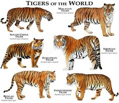 Art illustration of all Tiger (Panthera tigris) species available . Tiger Species, Animal Species, Especie Animal, Animal Facts, Panthera Tigris Altaica, Most Endangered Animals, Extinct Animals, Animals And Pets, Cute Animals