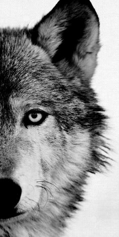 Wolf Crop by artist Belle Maison Wrapped Canvas Photo Art Print Wolf Crop by Belle Maison. Wolf Crop by artist Belle Maison Wrapped Canvas Photo Art Print Beautiful Wolves, Animals Beautiful, Cute Animals, Wild Animals, Wolf Photos, Wolf Pictures, Wolf Tattoos, Wolf Black And White, Wolf Eyes