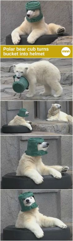 A young polar bear finds a new use for a bucket.