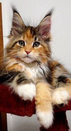 Coon Cat: One thing about the Maine Coon is that they're big kitties! Some can tip the scales at over 20 pounds.Maine Coon Cat: One thing about the Maine Coon is that they're big kitties! Some can tip the scales at over 20 pounds.