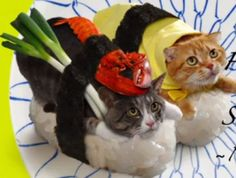 To the horror of cat lovers around the world a Japanese firm has 'dressed up' a number of cute tabbies as sushi dishes. The felines, who are not really available. Chat Web, Cat Dressed Up, Sushi Cat, Converse, Cat Dresses, Here Kitty Kitty, Haha Funny, Funny Pics, Cute Photos