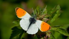 Orange Tip(Anthocharis cardamines) Photographed at Hessen Germany by kitefarrago April 2014 Flying Insects, Bird Watching, Finland, Butterflies, Wildlife, Around The Worlds, Birds, Gallery, Green