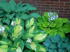 Hostas Great expectations, Krossa Regal, August Moon, and Camelot