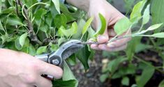 Find out how to prune apple trees in summer, as well as other fruit trees such as pears and plums, in this project from BBC Gardeners' World Magazine. Growing Hibiscus, Hibiscus Plant, Pruning Plants, Garden Plants, Garden Shrubs, Herb Garden, Flowers Perennials, Planting Flowers, Best Flowers For Bees