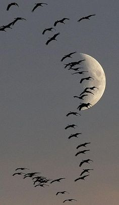 Moon with a grey sky background and Migrating Geese at Linum (near Berlin) Germany, photo by Pawel Kopczynski Beautiful Moon, Beautiful Birds, Beautiful World, Beautiful Pictures, Shoot The Moon, Moon Pictures, Sun Moon, British Library, Amazing Nature