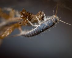 Silverfish: Life Cycle, Effects, and Pest Control Types Of Bugs, Types Of Insects, Termite Control, Bees And Wasps, Pest Management, Pest Control Services, Bug Control, Humming Bird Feeders, Natural Remedies