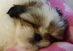 check out this weeks Shih Tzu of the Week in Oh My Shih Tzu's Super Shih Tzu Saturday featuring baby Zoey