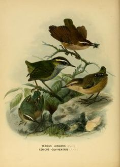 A history of the birds of New Zealand / By: Buller, Walter Lawry, - Keulemans, J. G. Publication info: London :John Van Voorst,1873.