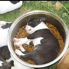 Sleeping frenchie