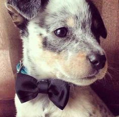 Puppy dog in a bow tie.