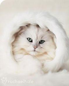 pretty white kitten