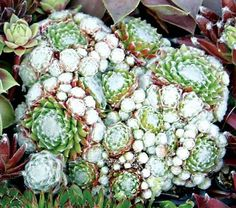 "The word arachnoideum refers to spiders, which is how this ""Hen and Chicks"" got its name. It produces a soft covering of whitish hairs that look like…"
