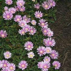 Delosperma Lavender Ice -drought tolerant ground cover