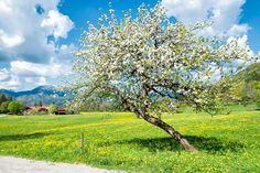 Anfang Mai erblüht das Tegernseer Tal, vor allem die Löwenzahnwiesen frischen das Landschaftsbild auf.