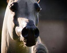 S.M.A. MAGIC ONE  (Psytadel × Majidah Bint Pacha)  2010 Grey Purebred Arabian Stallion