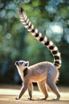 """Ring-tailed lemur, Lemur catta, Berenty Reserve, Madagascar.  Male lemurs compete for females by having """"stink fights"""" with other males. The smelliest one wins. Rengashäntämakiurosten välisissä tappeluissa niiden erittämä haju on tärkeässä osassa. Haisulein uros voittaa."""