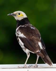 黑領椋鳥 Black-collared Starling (Sturnus nigricollis)