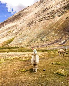 alpaca ausangate rai