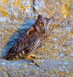 Owl Storytelling: Perché si chiama Assiolo? (6° puntata della serie ...