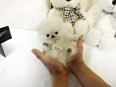 Adorable Tiny Lucy ~ Precious Micro Teddy Bear Face Cream Pom Available! SUPER TINY AVAILABLE!