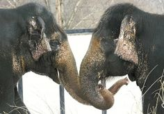 After a decade of miserable living, these two elephants have a chance at a better life. Please help Sophie and Babe!