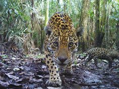 """""""Indomitable"""" Jaguars May Have Lessons in Survival for Us --   Jaguar corridors in Central and South America are helping """"the sumo wrestler of the animal kingdom"""" survive."""