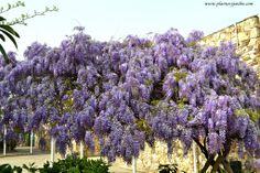 Wisteria sinensis-Glicina-Wisteria