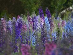 Beautiful delphiniums in New Zealand  (From Dowdeswell's Delphiniums)