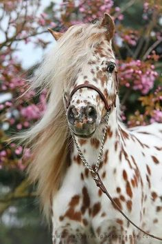 I love these type of horses. they are called appaloosa horses, which the American were very fond of back in the day. Caballos Appaloosa, Appaloosa Horses, Leopard Appaloosa, Dressage Horses, Cute Baby Animals, Animals And Pets, Funny Animals, Farm Animals, Most Beautiful Horses