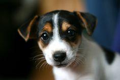 Jack Russel Puppy :D  ♥