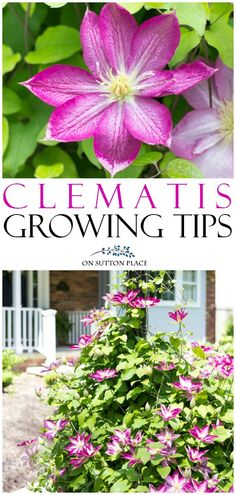 Easy clematis vine growing tips & care advice. Grow a clematis plant along a fence, on a plant trells or around a light post. The clematis flower comes in an amazing array of bright colors! #clematis #flowers #gardening #gardenideas #pink #easy