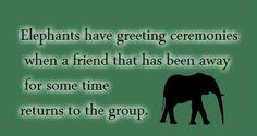 sweet elephant fact :) Elephant Facts, Elephant Walk, Elephant Love, Elephant Stuff, All About Elephants, Elephants Never Forget, Animal Facts, Animal Memes, Baby Animals