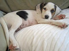 Georgie the Beagle Mix