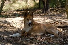 Image from http://upload.wikimedia.org/wikipedia/commons/5/51/Dingo,_just_relaxing.jpg.