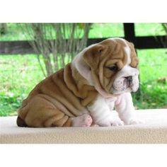 15699_beau_is_an_energetic_english_bulldog_puppy_img.jpg (420×420)