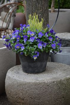 variegated lavender and violas