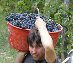 Grapes Harvest in our wineyards, situated in Piedmont. Tacchino Raffaele www.tacchinovino.it