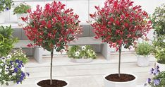 Pair of Evergreen Photinia Little Red Robin Trees - Trees for Containers - Shrubs & Trees - Garden Plants Photinia Red Robin, Garden Trees, Garden Plants, Red Robin Tree, Garden Express, Baumgarten, All About Plants, Specimen Trees, Garden Accessories