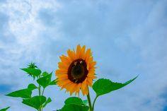 Sonnenblume #Sonnenblume #fotomotiv #fotografie #sonnenblume #sunflower #natur #blumen #tournesol #girassol