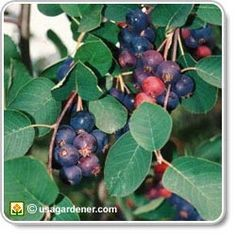 How to grow Saskatoon Berries - one of the best berries to grow, both for hardiness and for the health benefits of the berries.