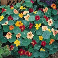Whirlybird Mix nasturtium seeds - Garden Seeds - Annual Flower Seeds