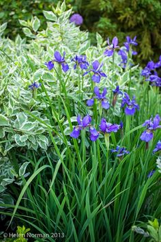 Siberian Iris with Dogwood Shrubbery in background...Tone on Tone