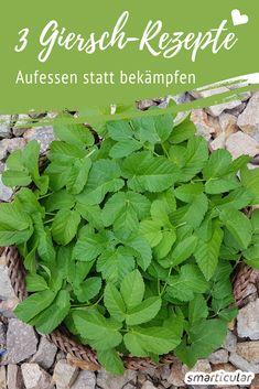 """This weed tastes fabulous: 3 recipes with greed - Dieses Unkraut schmeckt fabelhaft: 3 Rezepte mit Giersch 3 Giersch recipes – a """"weed"""" to eat – healthy and delicious - Herbs For Health, Healthy Herbs, Hydrangea Care, Herb Recipes, Living A Healthy Life, Growing Herbs, Medicinal Herbs, Edible Garden, Vegetable Garden"""