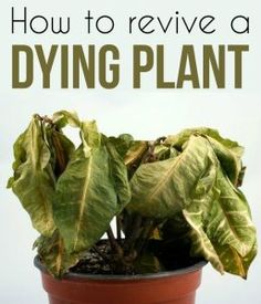 Learn how to revive a dying plant.