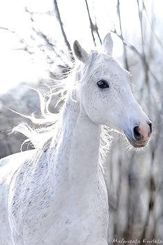 White Beauty, horse, heste, animal, beautiful, gorgeous, wild, photo